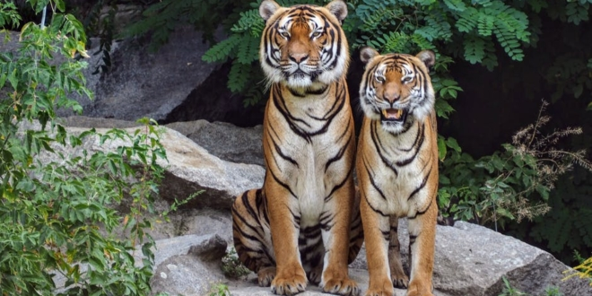 man-who-fled-with-a-tiger-has-been-caught,-but-the-animal-is-on-the-loose